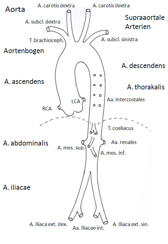 thoracic aorta diagram anatomy