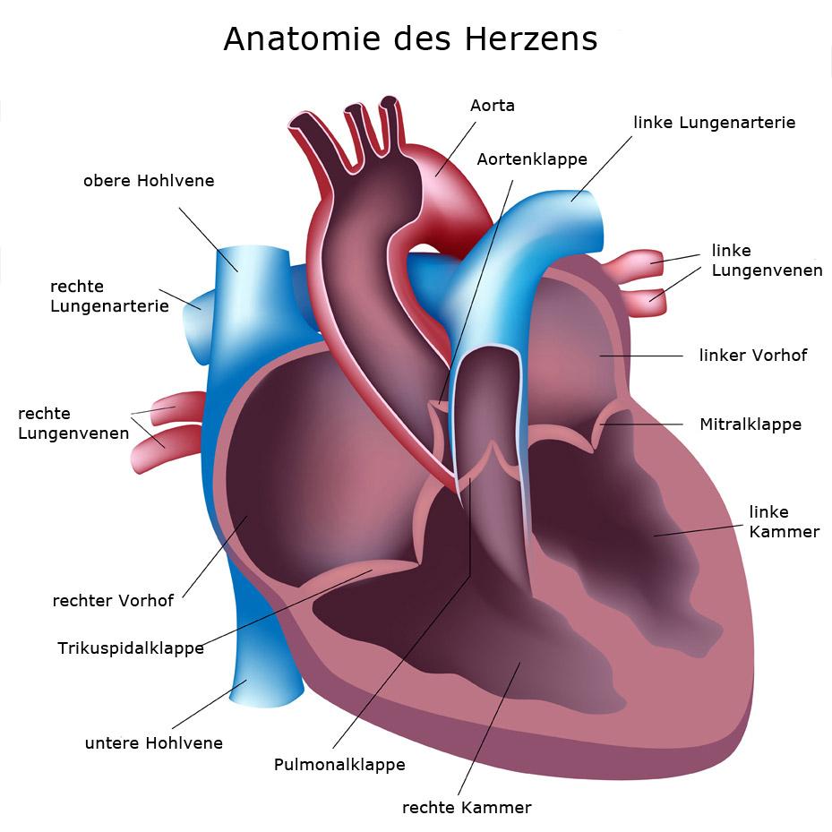 Anatomie des Herzens | Herzzentrum Brandenburg bei Berlin